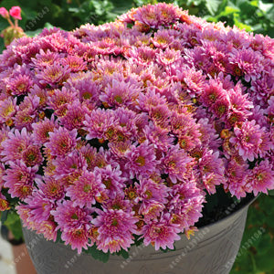 100pcs/bag Ground-cover chrysanthemum seeds, chrysanthemum perennial bonsai flower seeds daisy potted plant for home garden