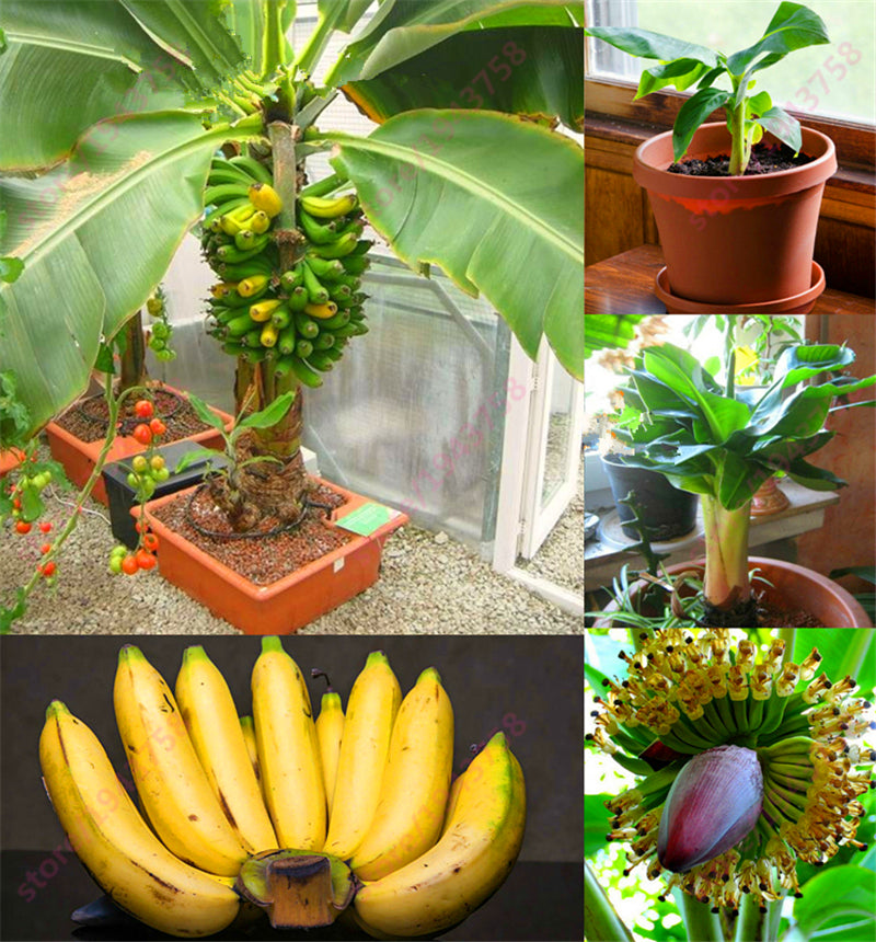 200 pcs Banana Seeds,dwarf fruit trees,Milk Taste,Outdoor Perennial Fruit Seeds For Garden plants