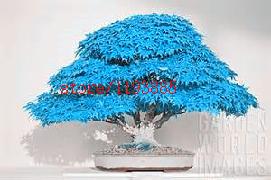 20pcs/bag bonsai blue maple tree seeds Bonsai tree seeds. rare japanese sky blue maple seed. Balcony plants for home garden