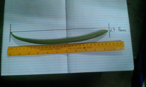Longest Vanilla Bean on record, biggest vanilla bean