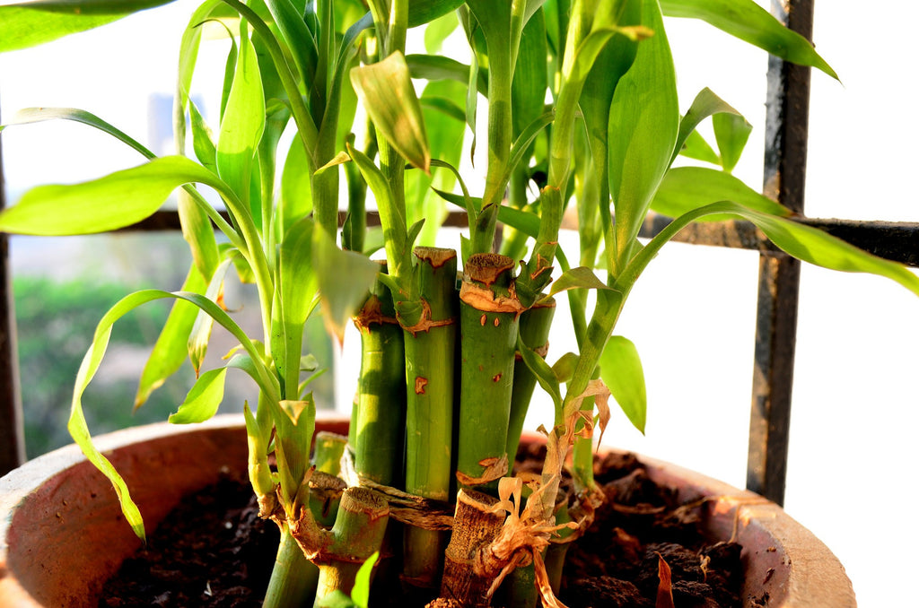 Diwali Gift for employees Bamboo Plant