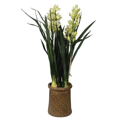 Pale Green Cymbidium Orchid Plants in Brown Woven Pot