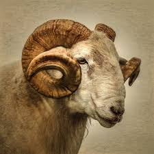 Ram Signed Photographic Print