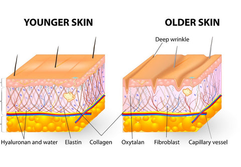 What's the difference between collagen and elastin? spongy skin, tone, saggy jowls