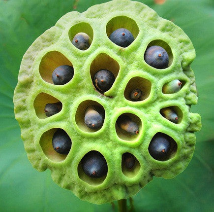 Lotus Seeds Makhana Buy Online Natureloc