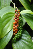 Black Pepper, kurumulaku (Whole) - Buy online