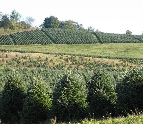 How Long Does It Take To Grow A Christmas Tree.How Long Do Real Christmas Trees Live Real Christmas