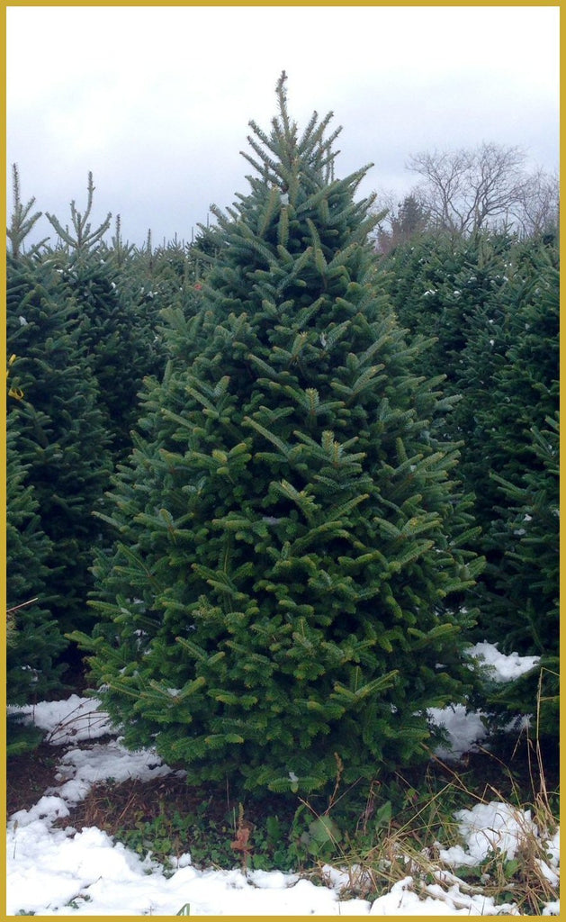 6 Ft Real Christmas Tree Delivered To Your Door Real