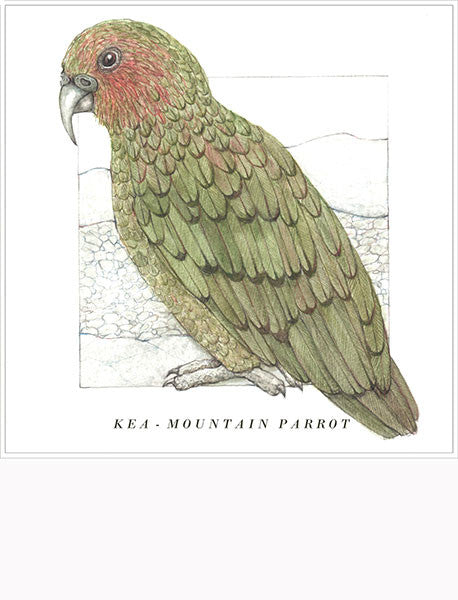 Birds of the Doubtful Valley - Kea