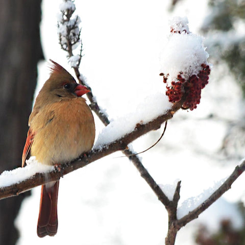 a photograph of a female cardinal sitting quietly on a snow covered Sumac branch on a snowy winter day - terrabryn blog