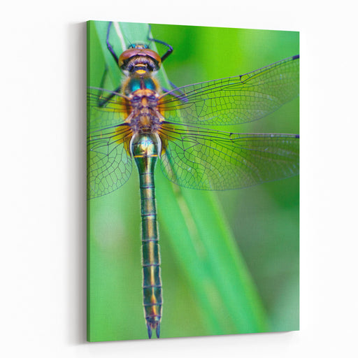 A Dragonfly Cordulia Aenea Warming Its Wings In The Early Morning Sun Canvas Wall Art Print
