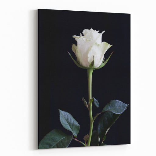 A Closeup Of A Single White Rose Isolated On Black Background Macro Photography Canvas Wall Art Print