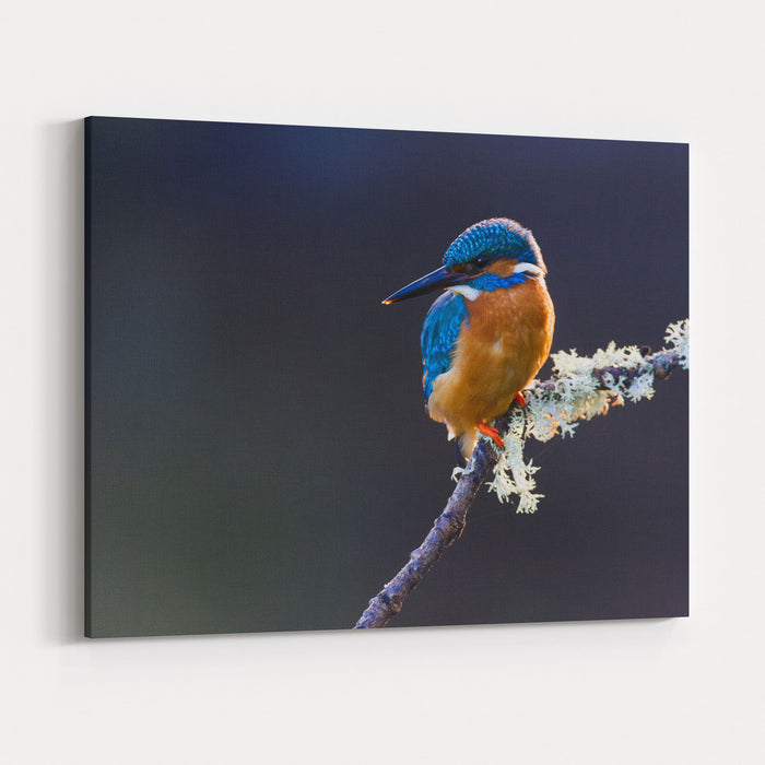 Photo Of A Common Kingfisher Alcedo Atthis Adult Male Perched On A Lichen Covered Branch Canvas Wall Art Print