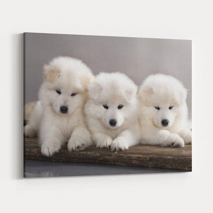 Funny Puppies Of Samoyed Dog Or Bjelkier Canvas Wall Art Print