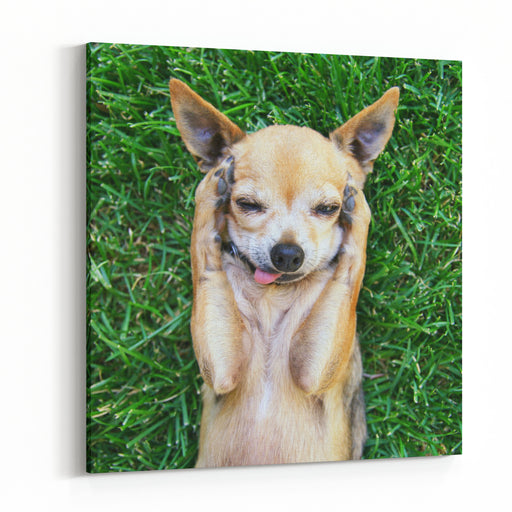 A Cute Chihuahua With His Paws On His Head Covering His Ears Canvas Wall Art Print