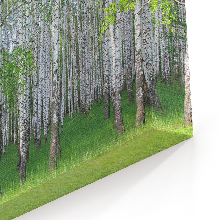 Spring Birch Grove Canvas Wall Art Print