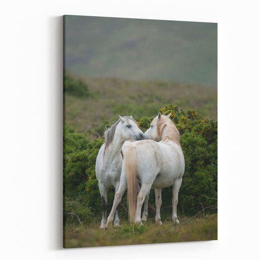 A Pair Of Welsh Mountain Ponies Greet Each Other In The Welsh Country Side Canvas Wall Art Print