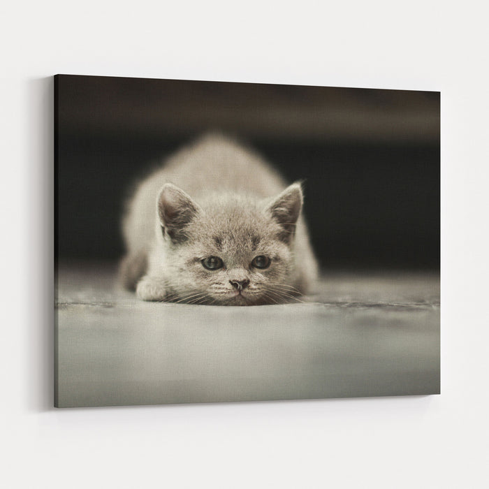 Sleepy British Kitten Over Black Background Canvas Wall Art Print
