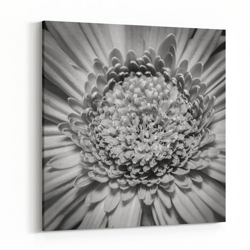 A Beautiful Black And White Gerber Daisy In Dim Lighting, Showing Off The Complexity Of The Hundreds Of Its Soft Petals Canvas Wall Art Print