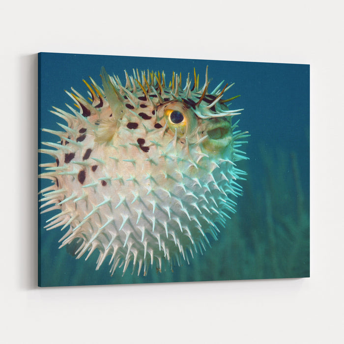 Blowfish Or Diodon Holocanthus Underwater In Ocean In Tropical Destination Canvas Wall Art Print