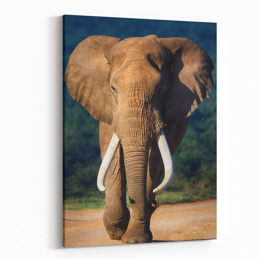 Elephant With Large Teeth Approaching  Addo National Park Canvas Wall Art Print