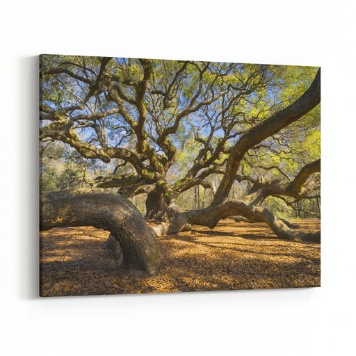 South Carolina Lowcountry Angel Oak Tree Charleston SC Nature Scenic Spring Landscape Photography Canvas Wall Art Print