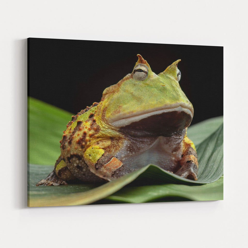 Pacman Frog Or Toad South American Horned Frogs Ceratophrys