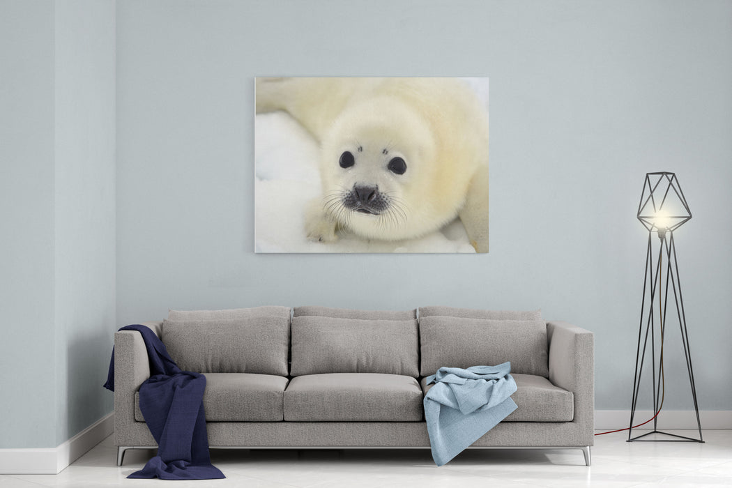 Baby Harp Seal Pup On Ice Of The White Sea Canvas Wall Art Print