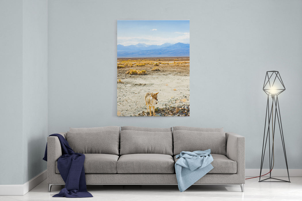 Coyote, Death Valley National Park, California, USA Canvas Wall Art Print