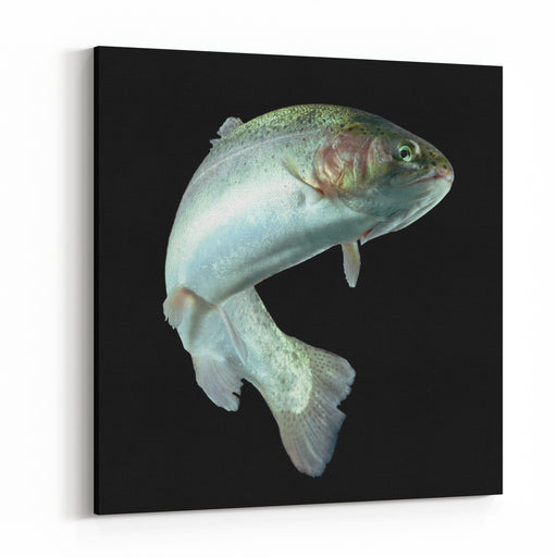 ADULT TROUT FISH ISOLATED ON BLACK Canvas Wall Art Print