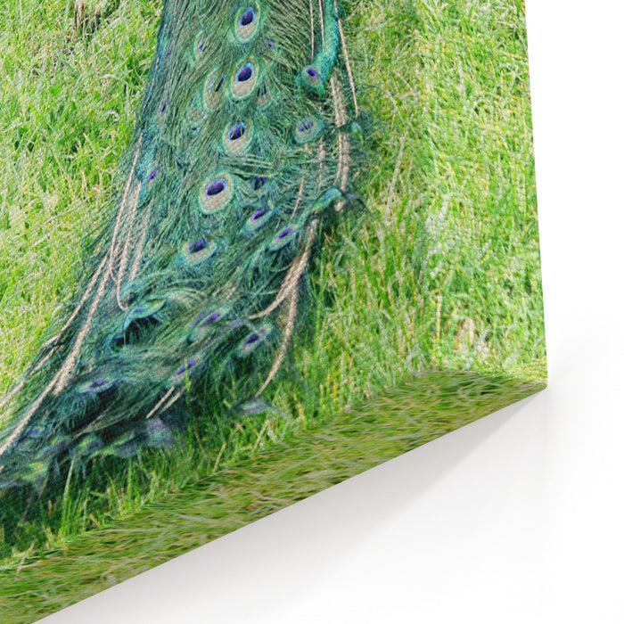 Beautiful Male Peacock On The Grass Canvas Wall Art Print