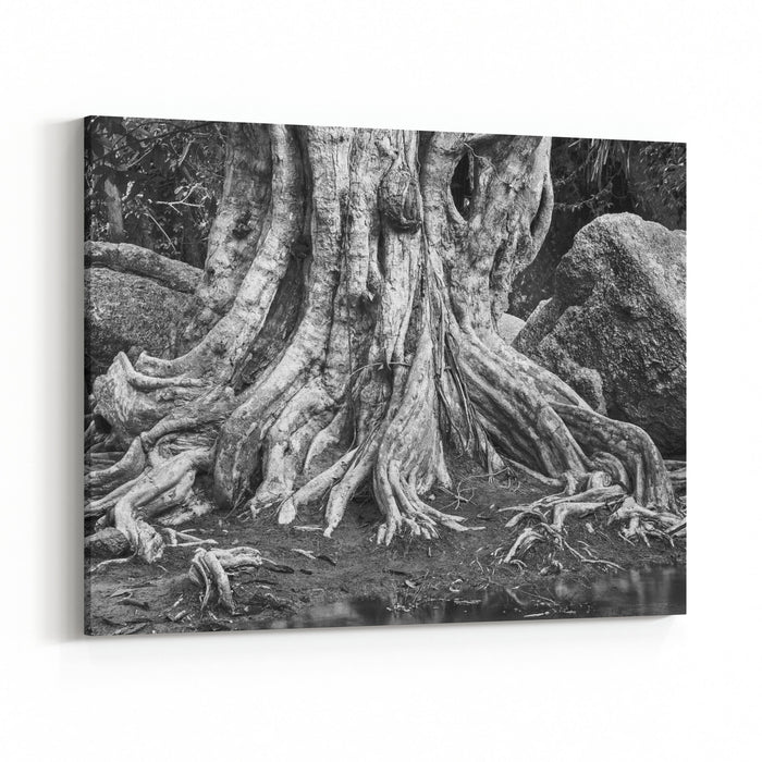Large Tree Roots And Largest Stones In Tropical Forest Near River Black Andwhite Photography Canvas Wall Art Print