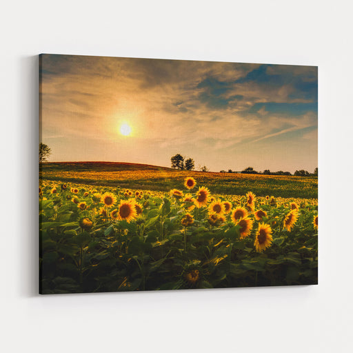 A View Of A Sunflower Field In Kansas Canvas Wall Art Print
