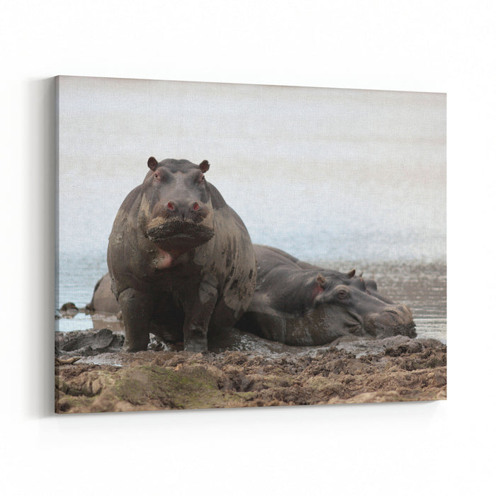A Big Female Hippo Stands Up And Stares Us Down After Spotting Us Walking Past Taken On Safari In South Africa Canvas Wall Art Print