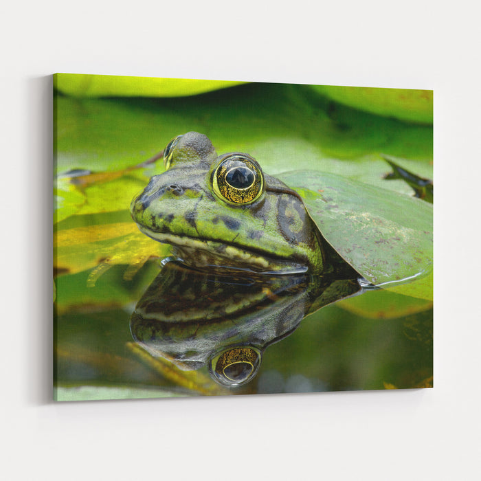 An American Bullfrog Photo Taken In Southern California, USA Canvas Wall Art Print