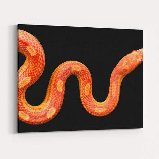 Amel Motley Corn Snake Isolated On Black Background Canvas Wall Art Print