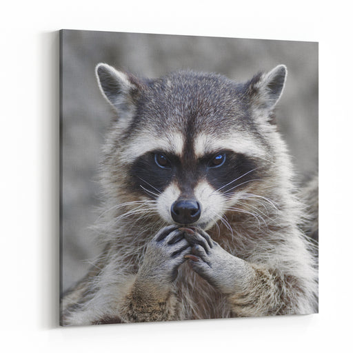 The Head And Hands Of A Cute And Cuddly Raccoon, That Can Be Very Dangerous Beast Side Face Portrait Of The Excellent Representative Of The Wildlife Human Like Expression On The Animal Face Canvas Wall Art Print