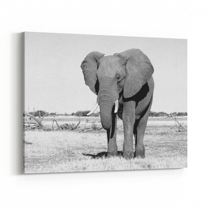Big African Elephant In Grasslands Of Chobe National Park Black And White Photography Canvas Wall Art Print