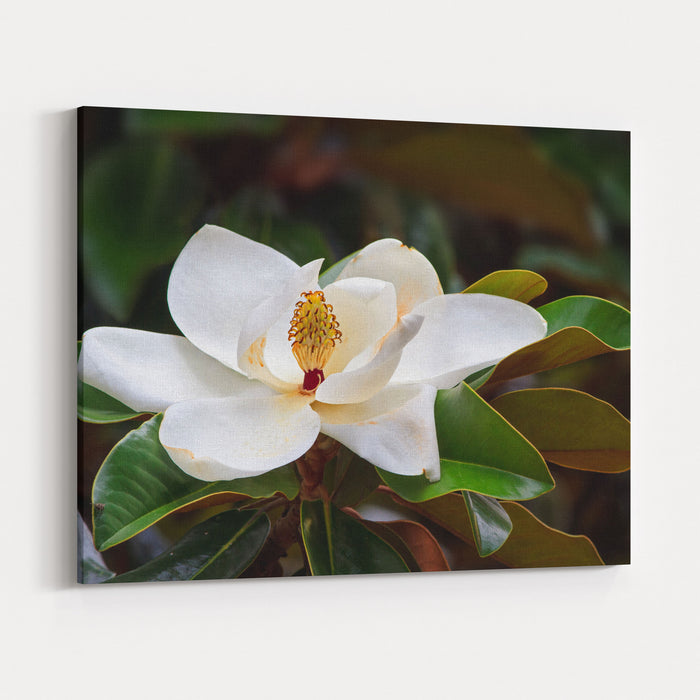 A Large Creamy White Southern Magnolia Flower Blossom Is Circled By