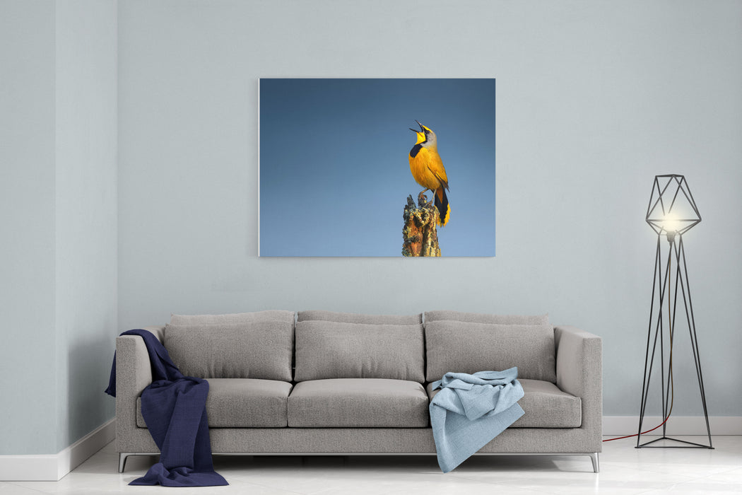 Bokmakierie Bird Calling  Telophorus Zeylonus  South Africa Canvas Wall Art Print