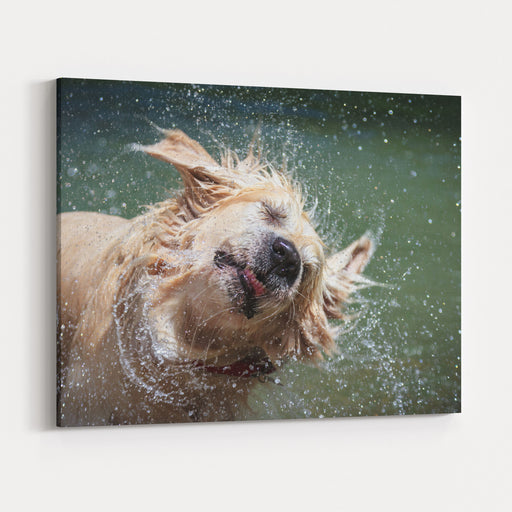 Golden Retriever Shaking Off Water Canvas Wall Art Print