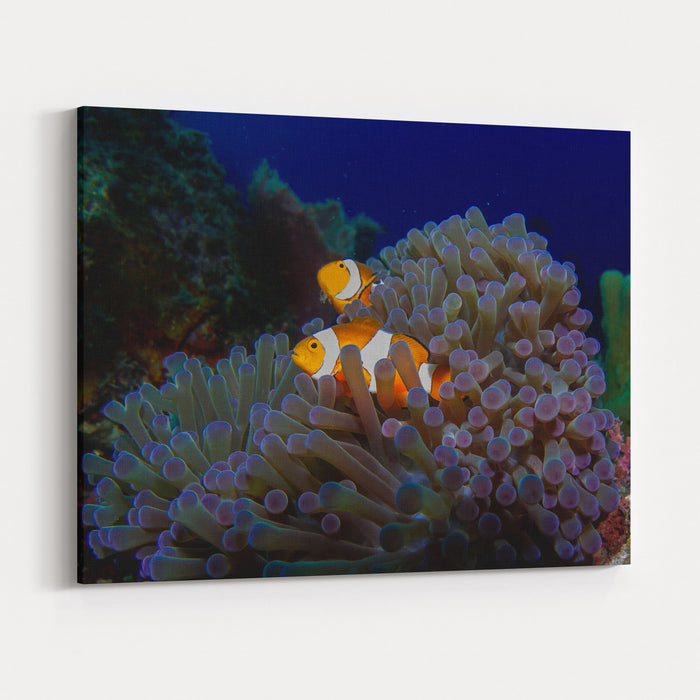 Detail Of The Purple Anemone Coral With Couple Of Indonesian Anemone ...
