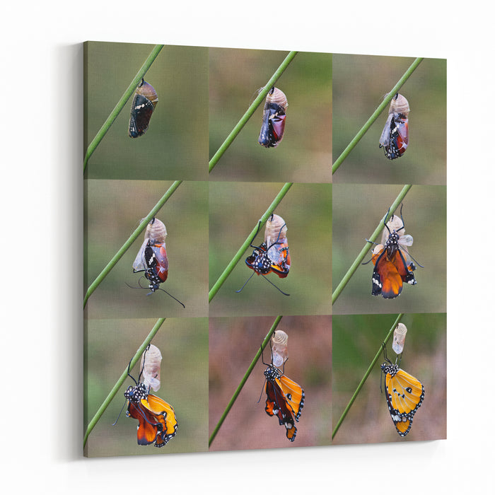 Amazing Moment About Butterfly Change Form Chrysalis Canvas Wall Art Print