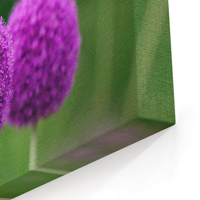 Couple Of The Allium Purple Flowers Growing In The Garden Canvas Wall Art Print