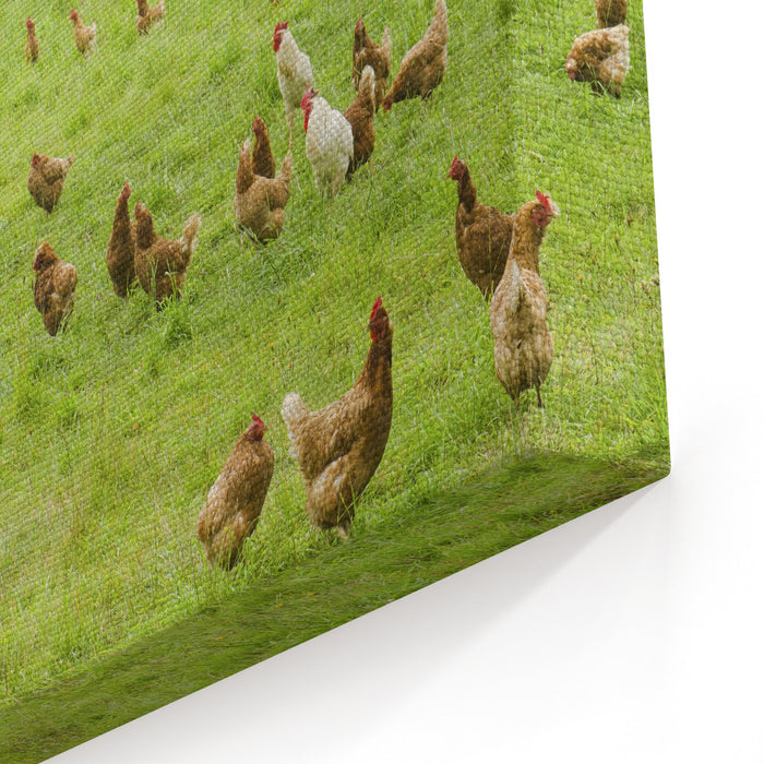 A Group Of Free Range Chickens Feed In A Field In Northern California Canvas Wall Art Print