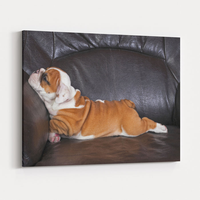 English Bulldog Puppy Relaxing On Black Leather Sofa Canvas Wall Art Print