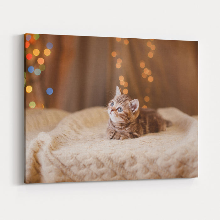 Kitten Christmas.British Kitten Christmas And New Year Portrait Cat On A Studio Colorbackground Canvas Wall Art Print