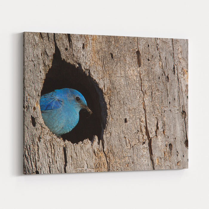 Mountain Bluebird, Sialia Currucoides, Male At Nest Hole At A Cavity In A Ponderosa Pine Tree In The Cascade Mountains, Washington State Pacific Northwest Birding And Wildlife Canvas Wall Art Print