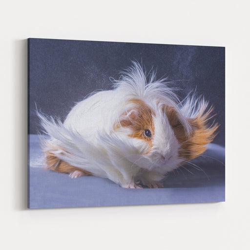 A Guinea Pigs Hair Is Blowing In The Wind Canvas Wall Art Print