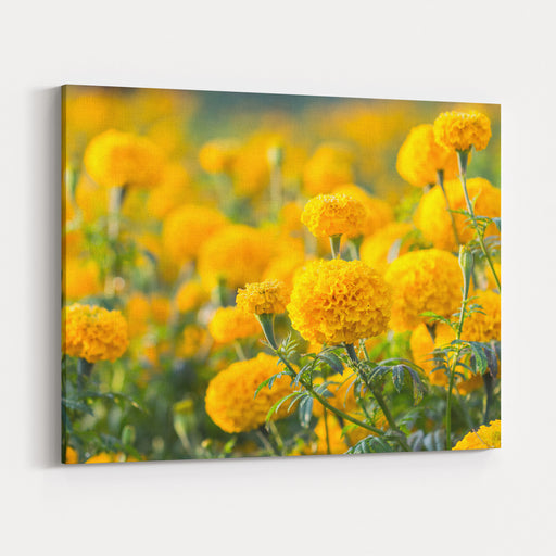 Marigold Flower ,Marigold Flower In The Morning Canvas Wall Art Print